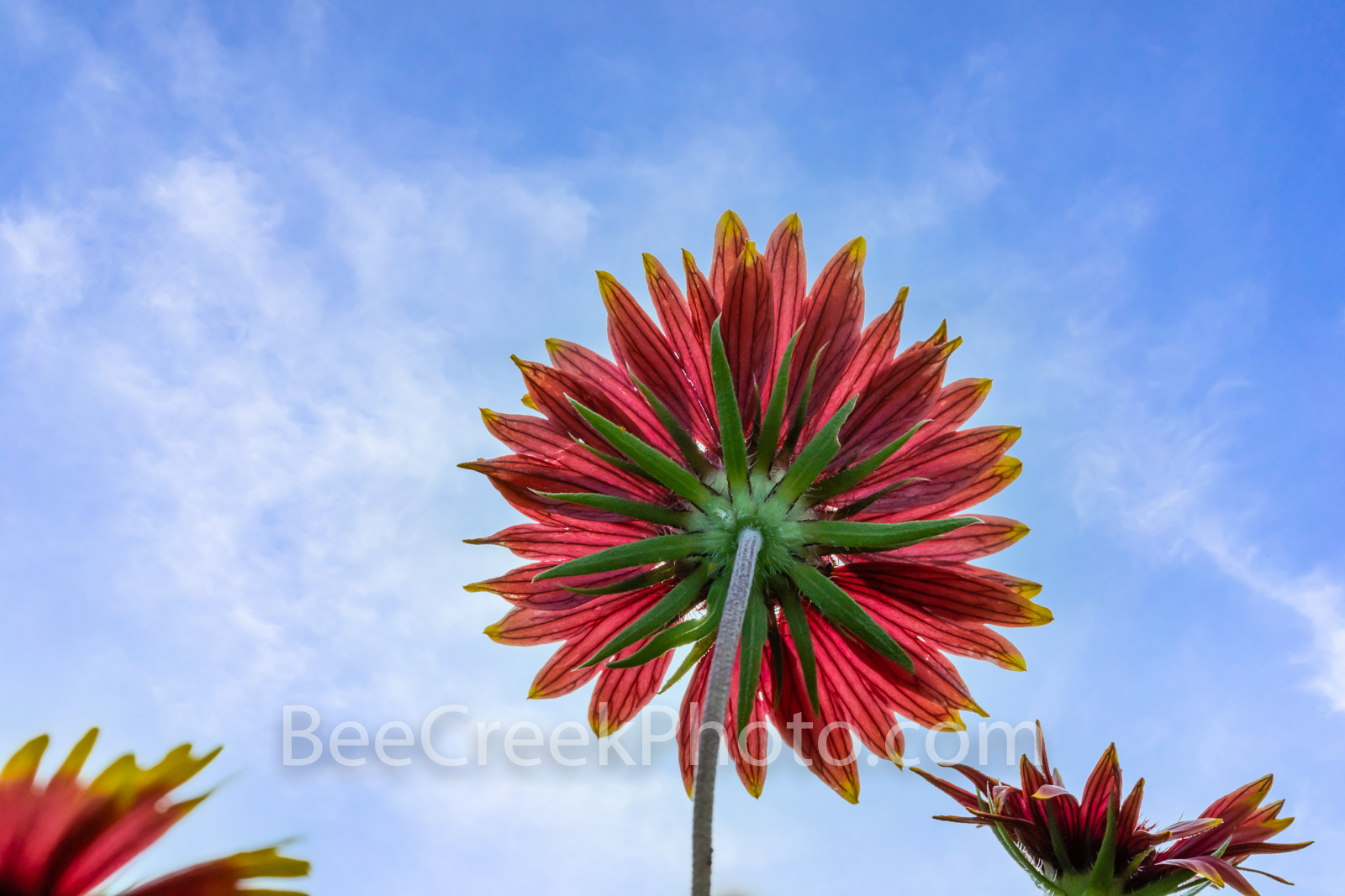 Indian Blanket Wildflower from Below - Another capture of this indian blanket wildflower close up also known as firewheel and...