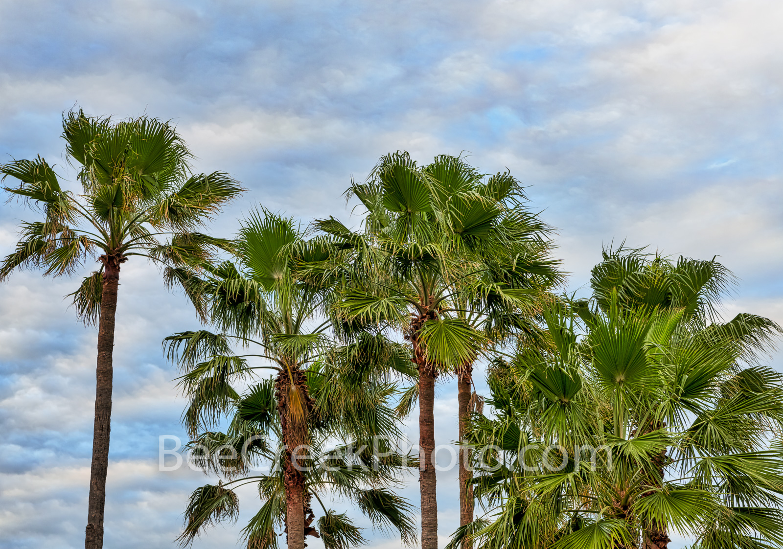 Island Palm Trees - These island palm trees were captured with these nice cloudy skies behind them. Palms trees at the beach...