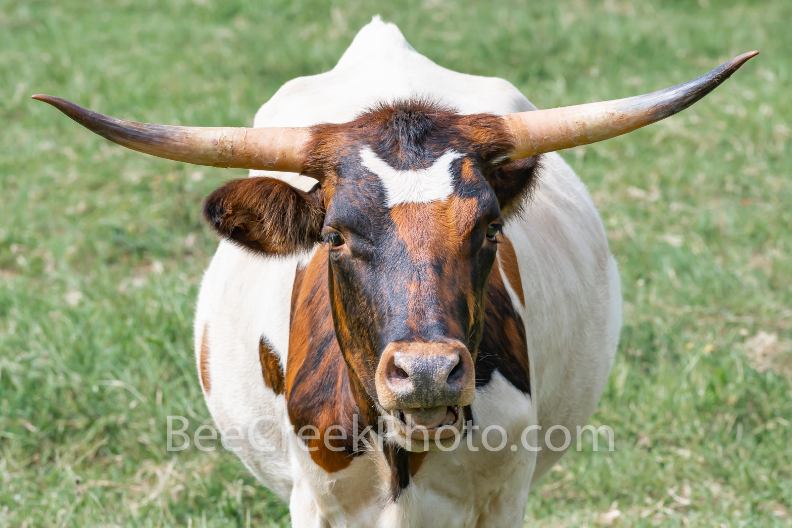 Long Horn Cattle  - This was a friendly longhorn that came right up to us looking for some cow candy most likely.  In any case...