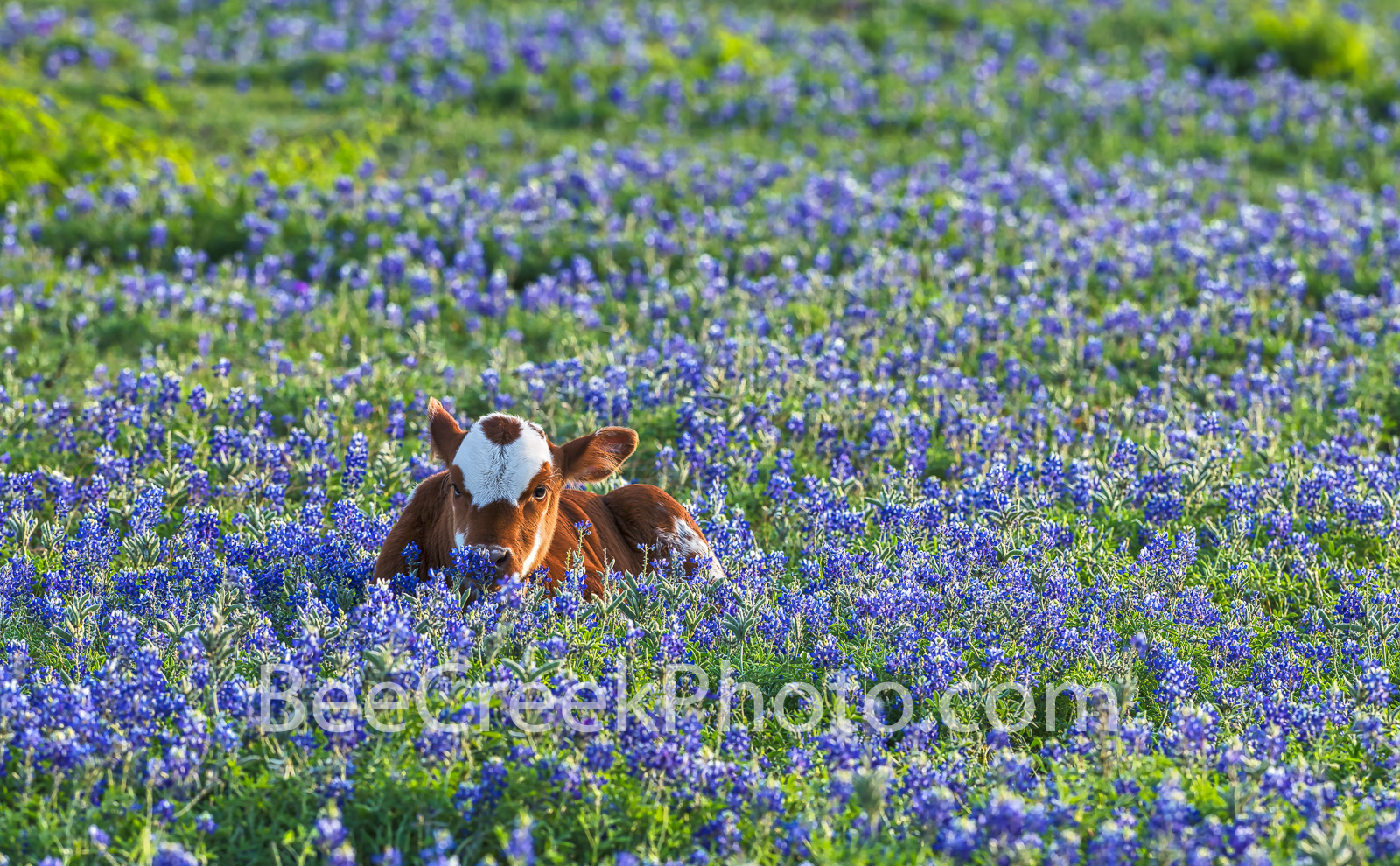 Longhorn calf, cattle, bluebonnets, texas bluebonnets,  Texas southwest, texas wildflowers, field, symbol, docil, baby, field of bluebonnets, texas, field of bluebonnets, , photo