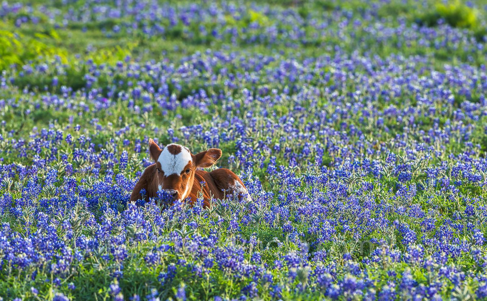 Longhorn calf, cattel, bluebonnets, Texas southwest, wildflowers, field, symbol, docil, baby, field of bluebonnets,, photo