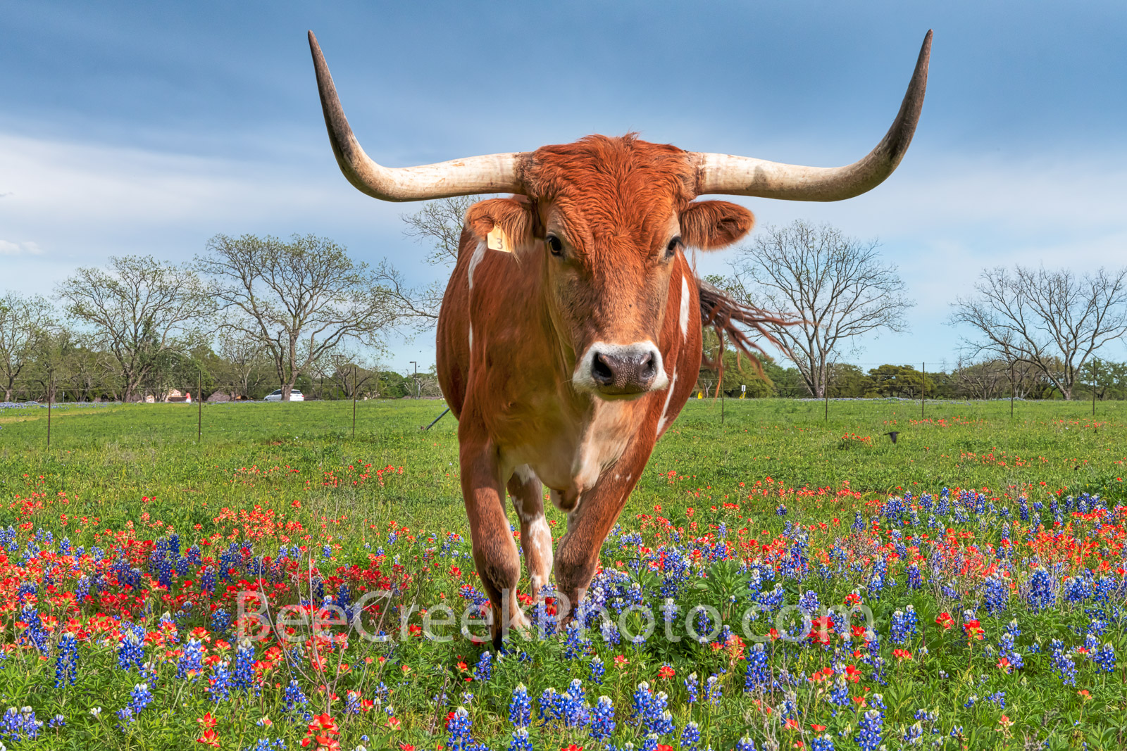 bluebonnets, indian paintbrush, wildflowers, texas wildflowers, longhorns,  texas hill country, cattle, herd, steers, horns, hill country, bluebonnets in the texas hill country, wildflower,, photo