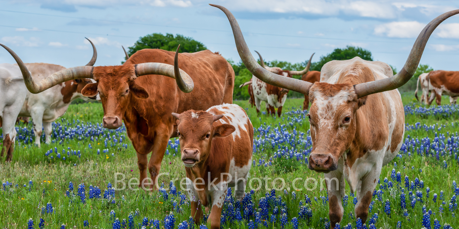 Longhorn Family Pano -  We capture this image of Texas Longhorns and calf who stopped to pose for this picture in the bluebonnets...