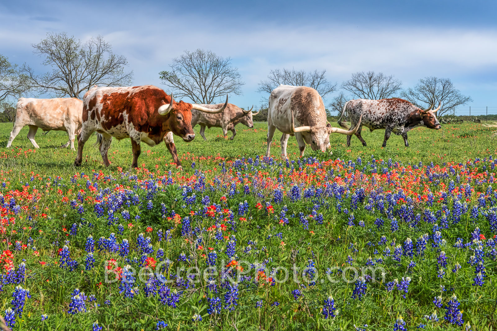 bluebonnets, indian paintbrush, wildflowers, texas wildflowers, longhorns, texas hill country, cattle, herd, steers, horns, hill country, ranch, texas cattle, texas longhorns, blue bonnets, longhorns,, photo