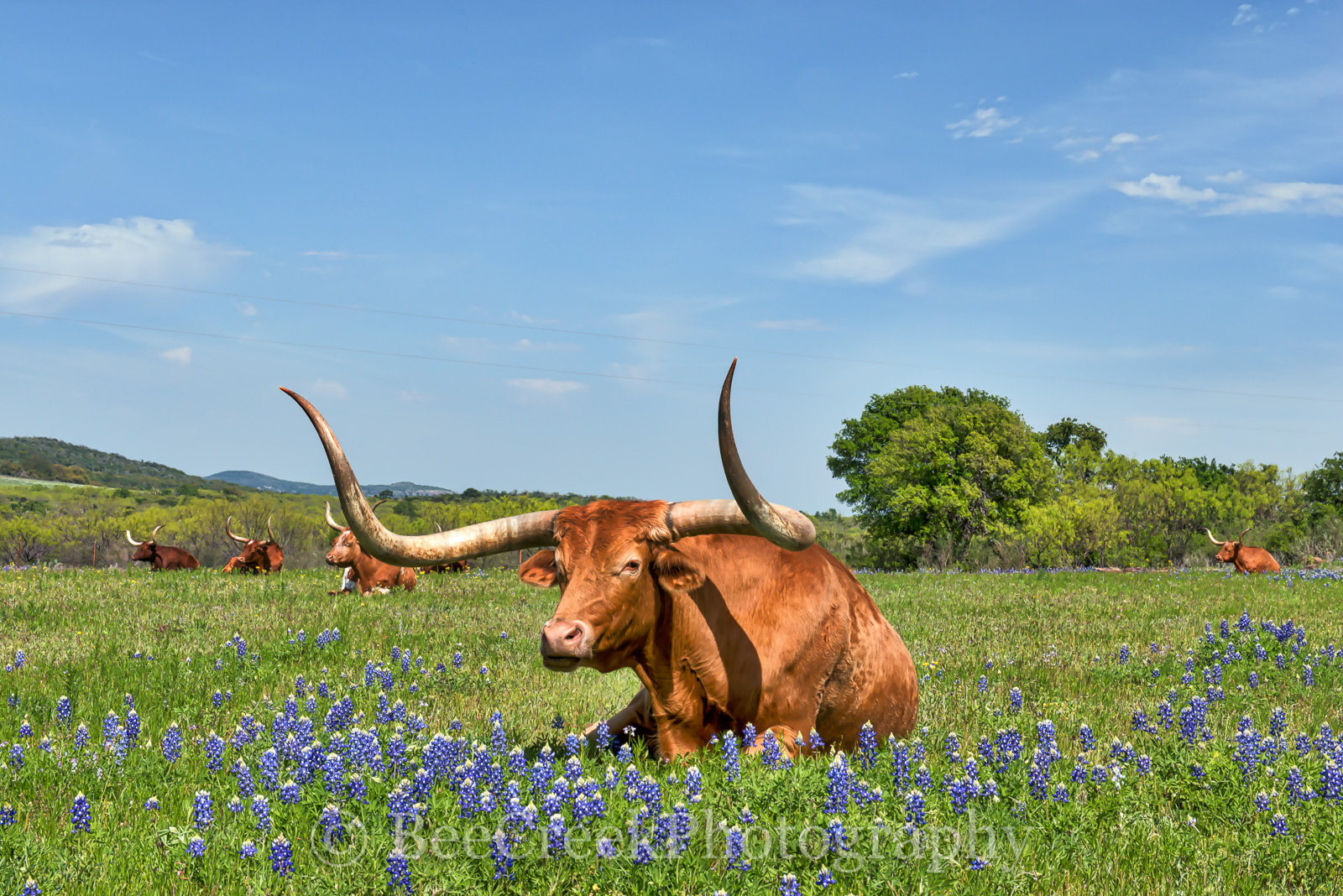 Longhorn in Bluebonnets - This longhorn was laying down in a field of bluebonnets and they all seem to be just sunning themselves...