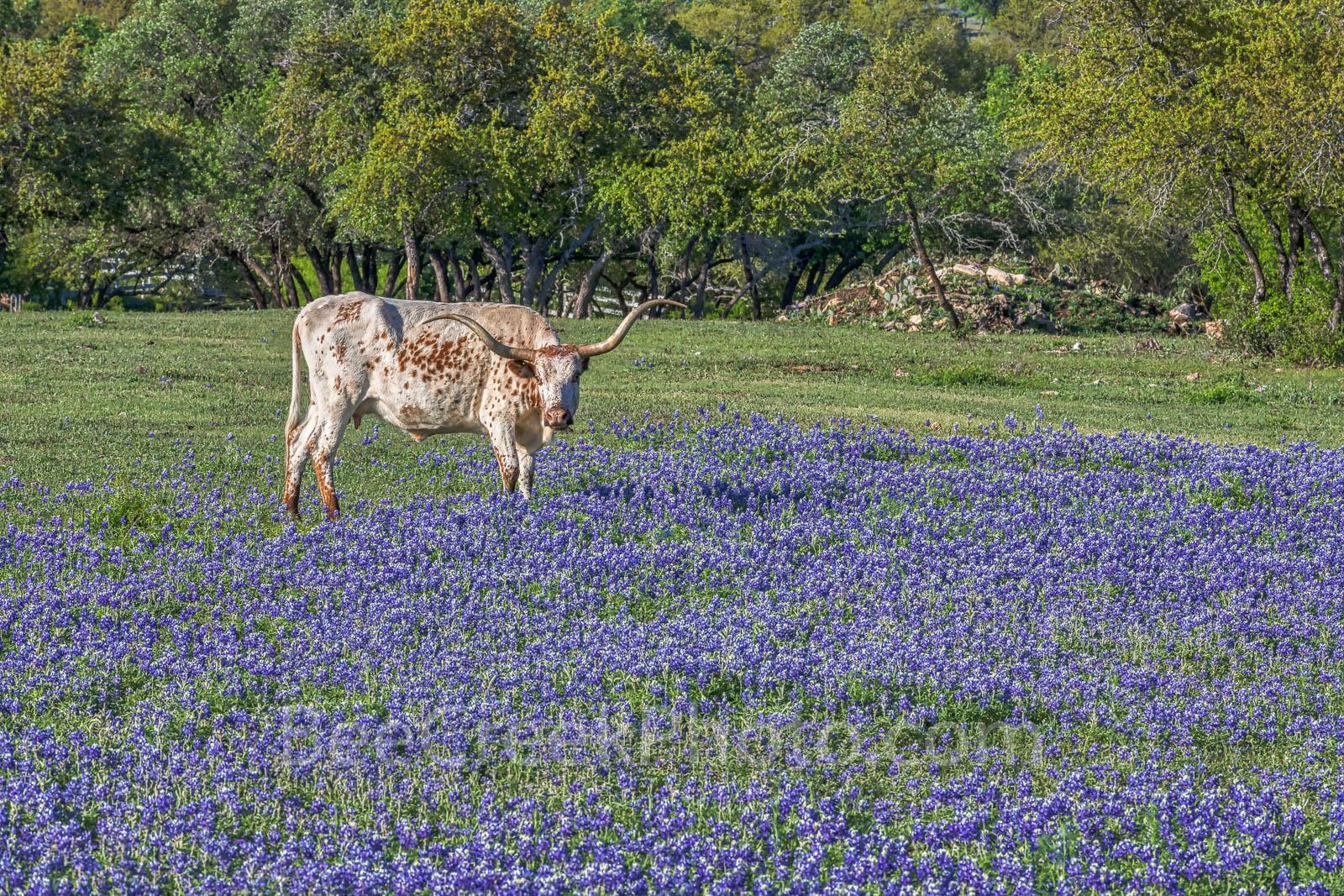 Longhorn, bluebonnets, wildflowers, cattle, docil, ranch, bluebonnet field,, photo