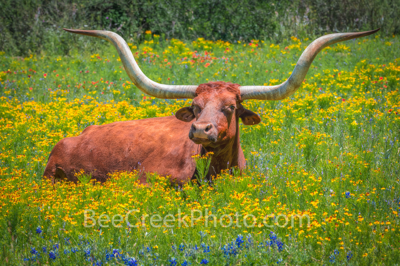 Longhorn in Wildflowers - This longhorn was laying down in a field of wildflowers and this one just seem to be  just sunning...