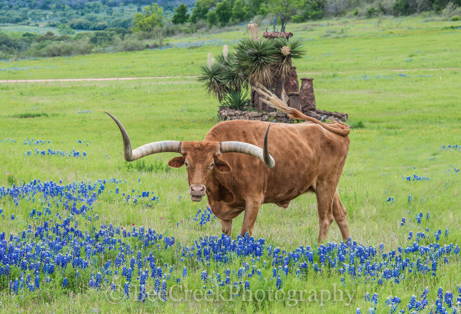 Longhorn with Bluebonnets - Captured this longhorn off the beaten path near Llano with some bluebonnets in the spring time.