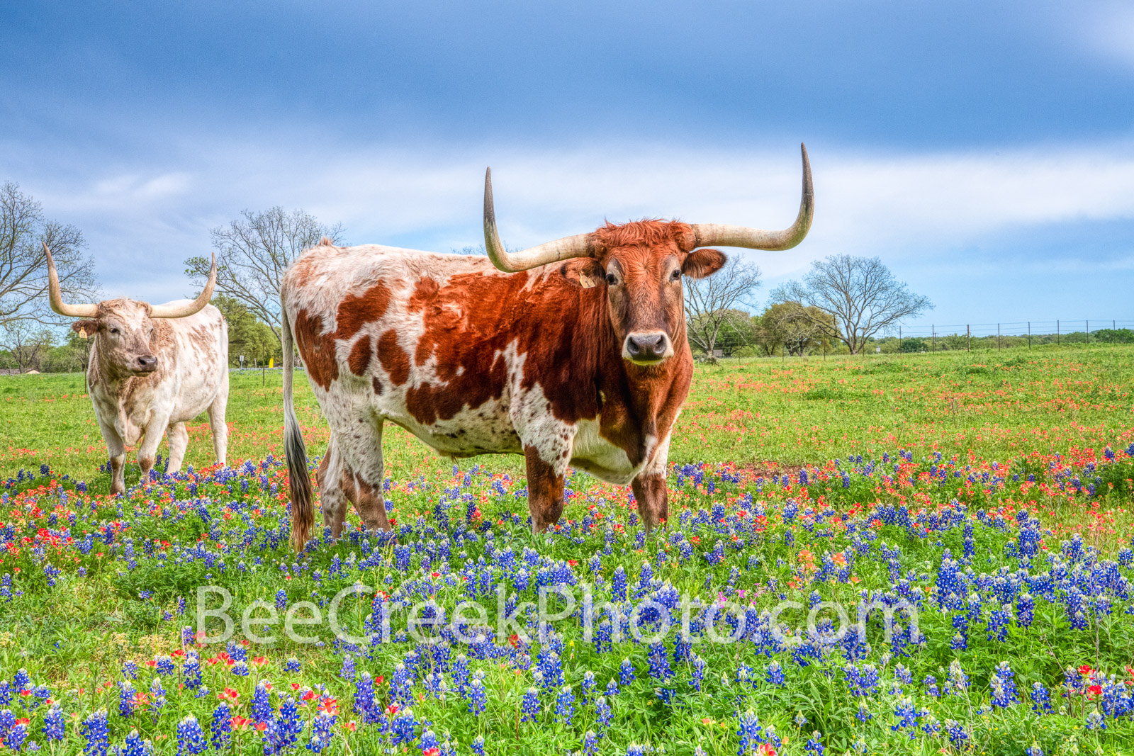 bluebonnets, texas bluebonnets, texas wildflowers,  indian paintbrush, texas hill country, wildflowers, texas, longhorns, texas hill country, texas longhorns, cattle, herd, steers, horns, hill country, photo