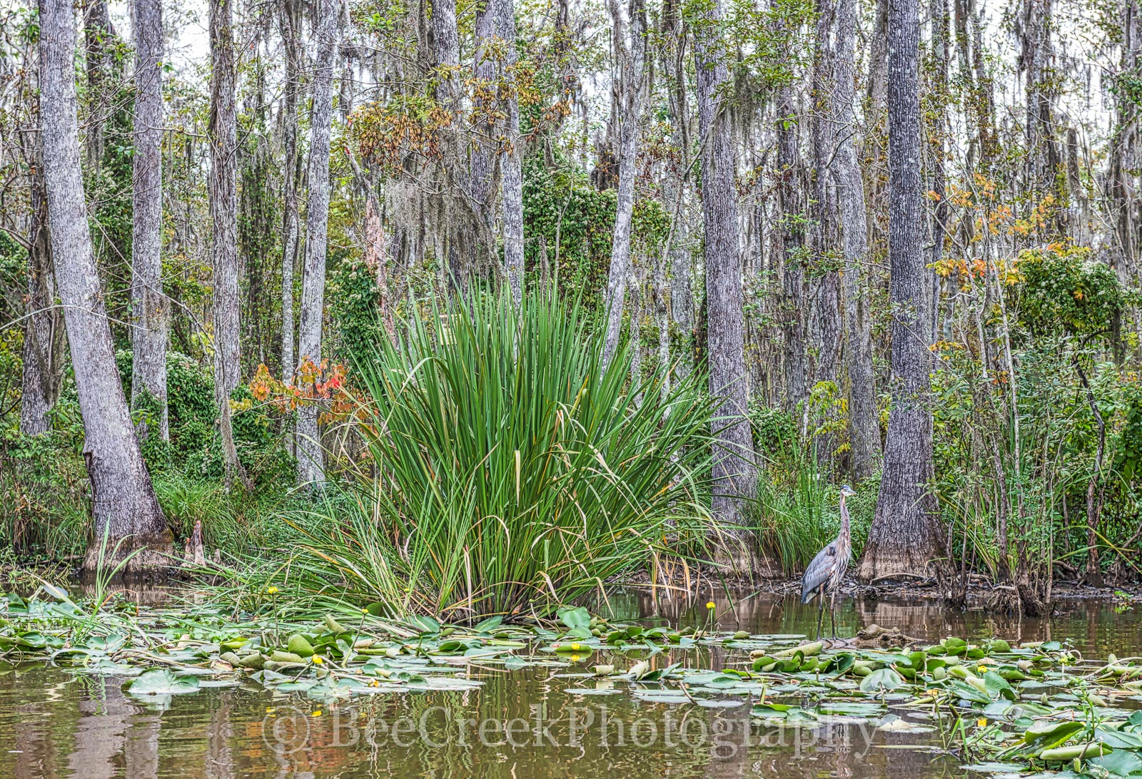 swamp, louisiana, honey island, blue heron, lilly pads, cypress trees, landscape, , photo