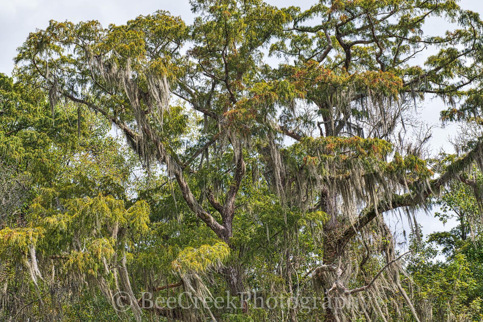 Louisiana, swamp, cypress tree, moss, landscape, landscapes, , photo