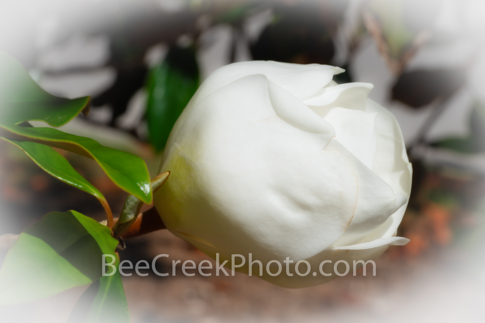 Magnolia Flower Blooming - A magnolia blooming flowers right before it opens up. The magnolia flowers are know for their wonderful...
