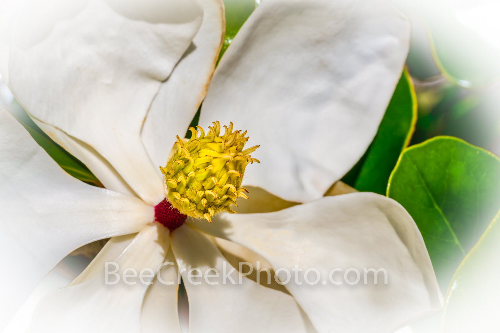 Magnolia Flower Macro - Magnolia Macro 2 - Magnolia flower in the Texas Hill Country. The magnolia trees usually grow in east...