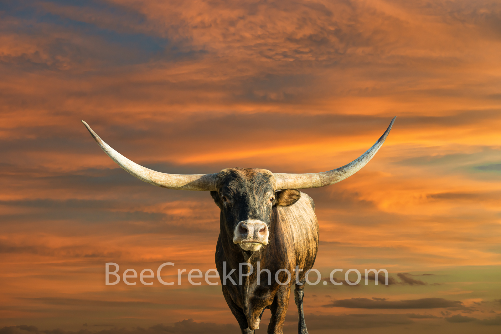 Majestic Longhorns at Sunset - This Texas longhorn on a ranch out in the Texas hill country had been gradually coming towards...