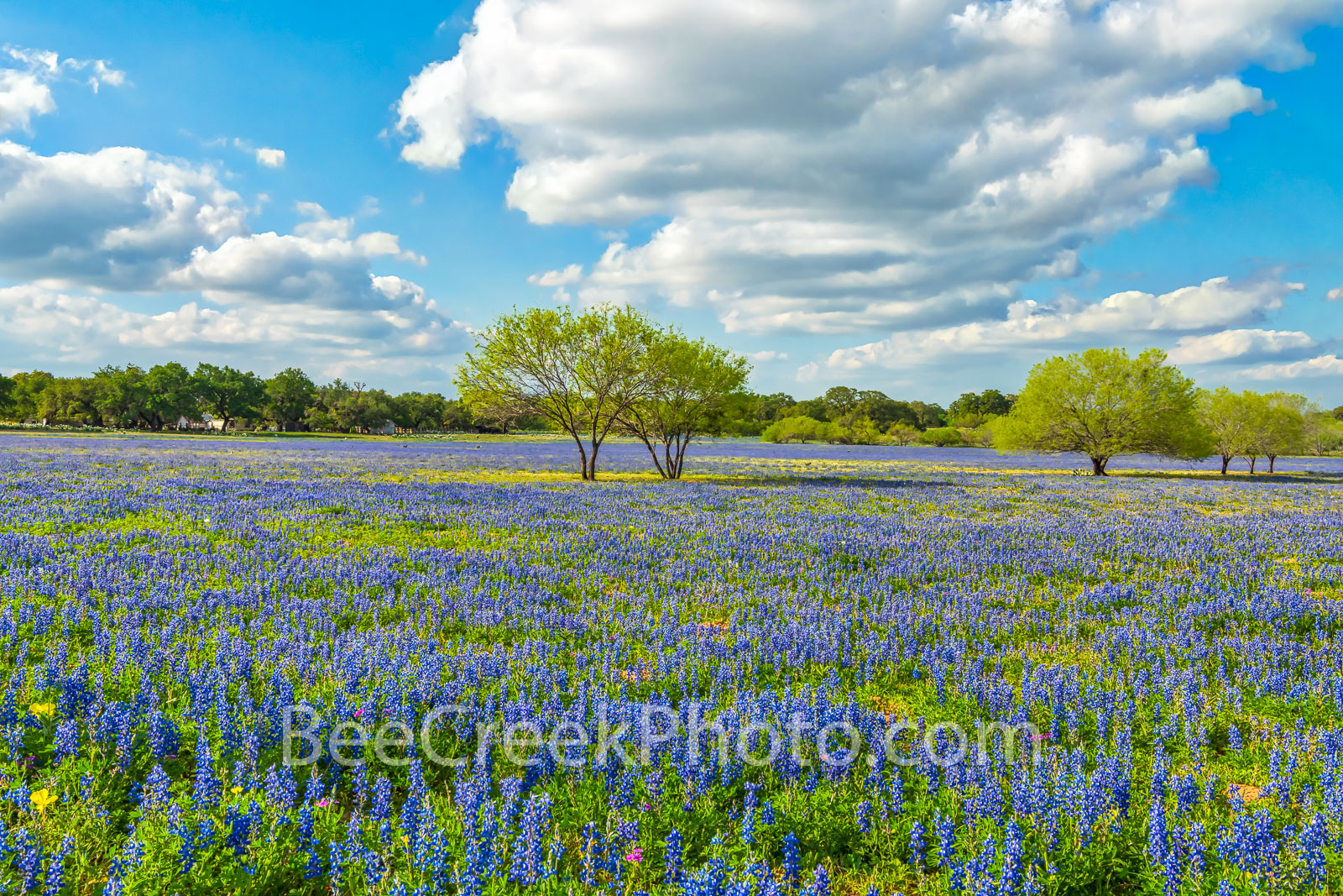 bluebonnets, mesquite trees, ranch, poppies, texas wildflowers, San Antonio, Poteet, Texas, green, blue, field, south texas, images of bluebonnets, pictures of bluebonnets,, photo