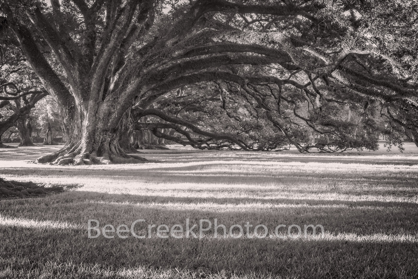 Oak Alley Live Oak in B W - The Oak Alley live oaks are over 300 years old and were here before the plantation and mansion even...