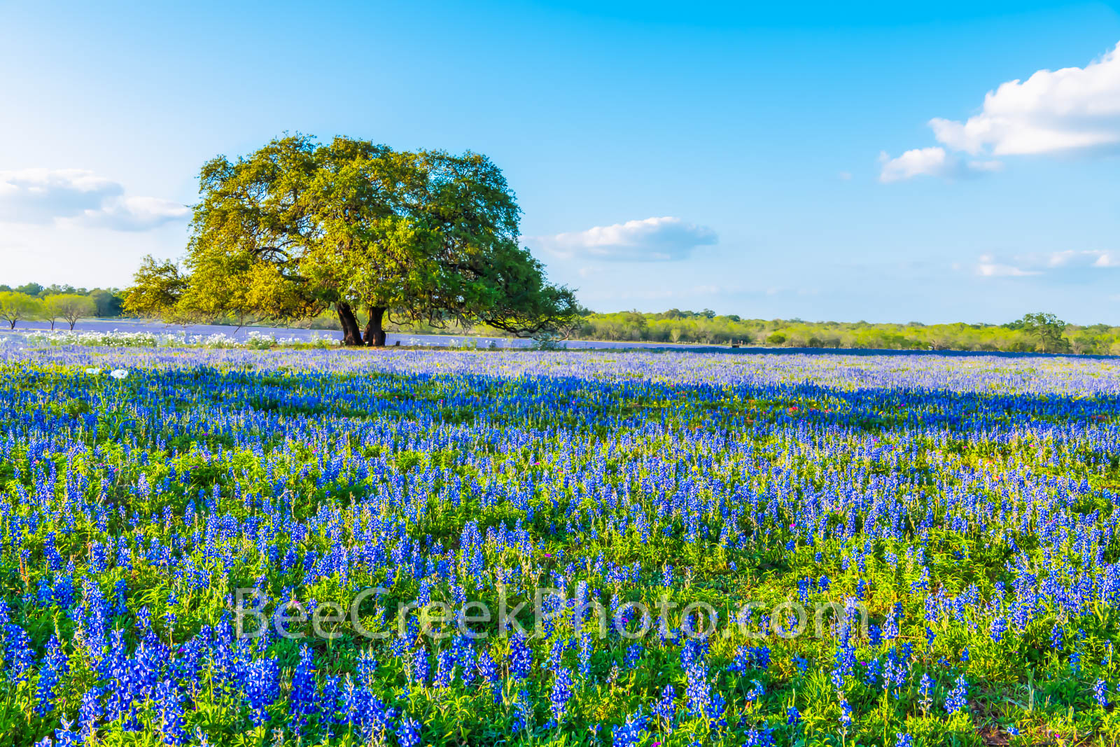 oak tree, bluebonnets, mesquite trees, ranch, poppies, texas wildflowers, San Antonio, Poteet, Texas, green, blue, field, south texas, images of texas, bluebonnets in texas, tx,