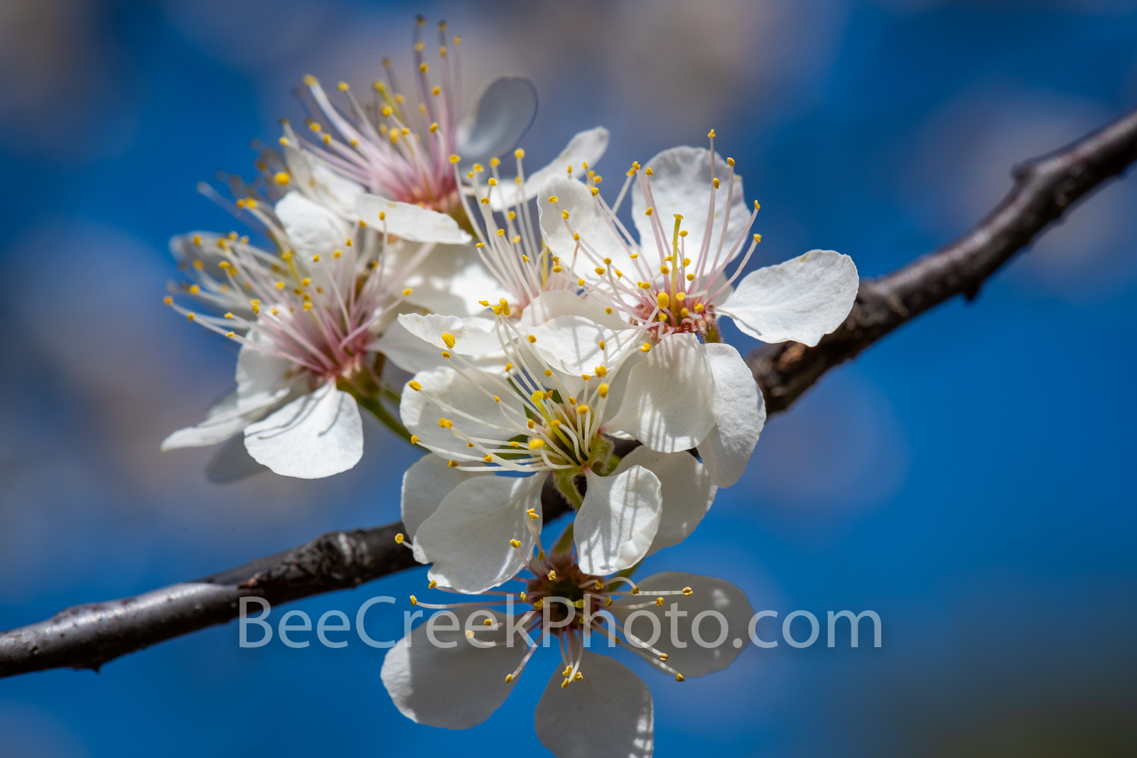 Pear Blossoms Close Up - We capture this pear blossom on a nice sunny day using a macro lens.  At first we thought this was a...