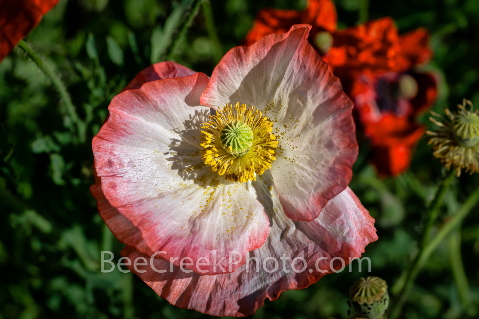 Pink and White Poppy - Some also call these the common poppy, corn rose, field poppy, Flanders poppy, and red poppy but I think...