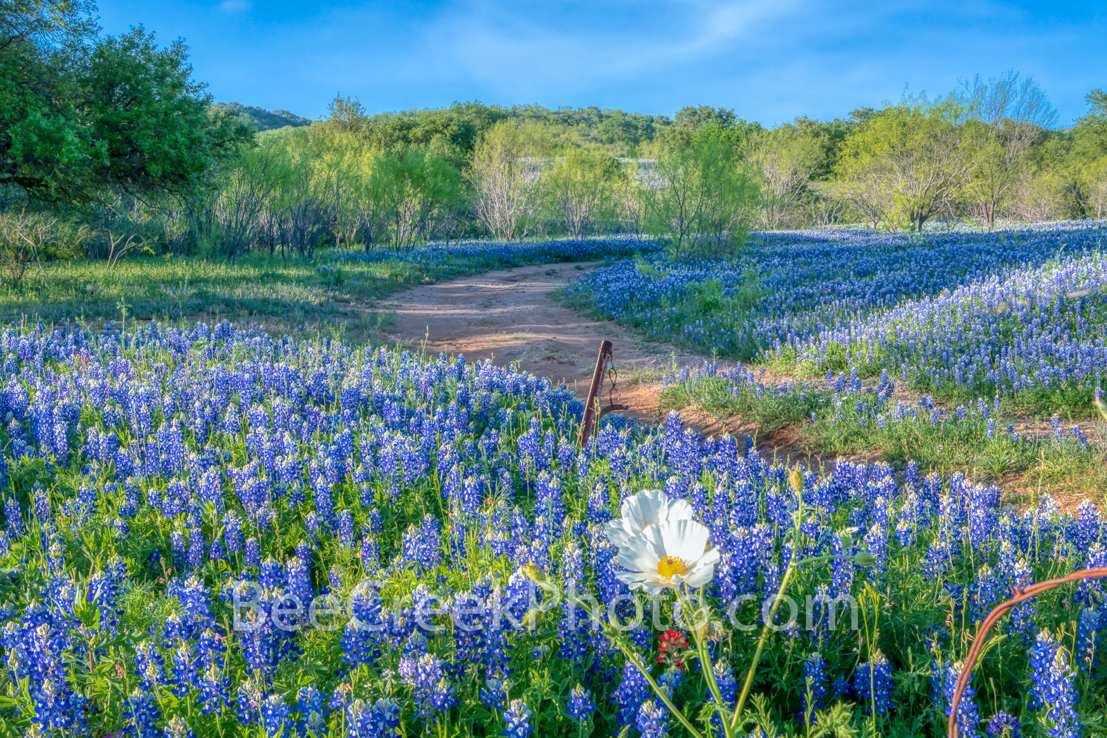 poppies, texas bluebonnets, bluebonnets, texas wildflowers, wildflowers, texas hill country, texas, field of bluebonnets, hill country,  road, mesquite, blue,  images of bluebonnets, pictures of blueb, photo