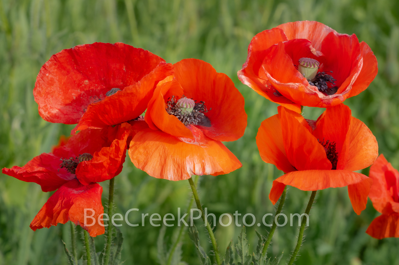 Red Corn Poppies - We capture these red corn poppies in a field of poppies we wanted to capture them up close. Some also call...