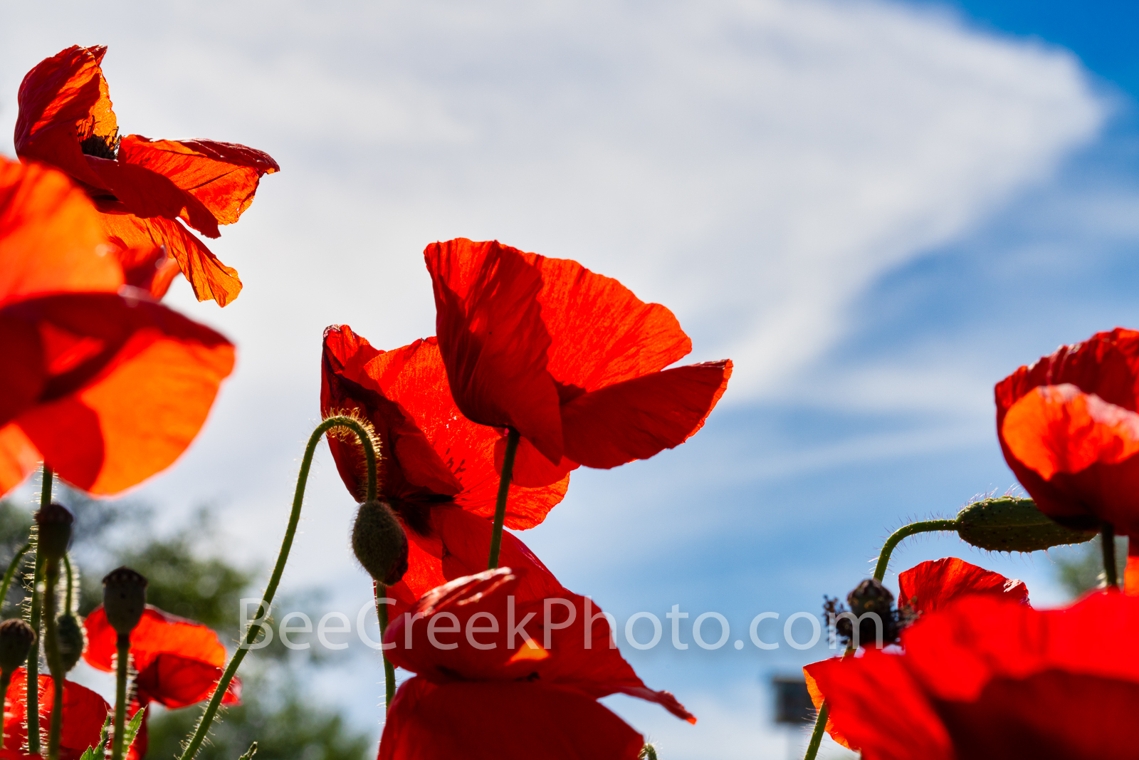 Red Corn Poppies Blowin in the Wind -We capture these red corn poppies as the wind was whipping them around from a low angle...