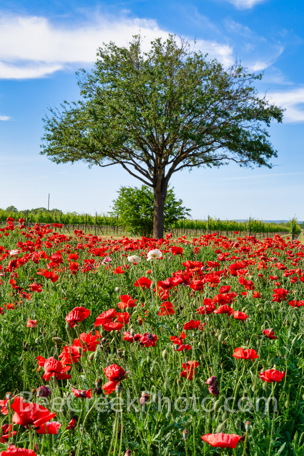 Red Corn Poppies Vertical -  A lovely tree and a field of red poppies with a couple of white and pink poppies with a blue sky...