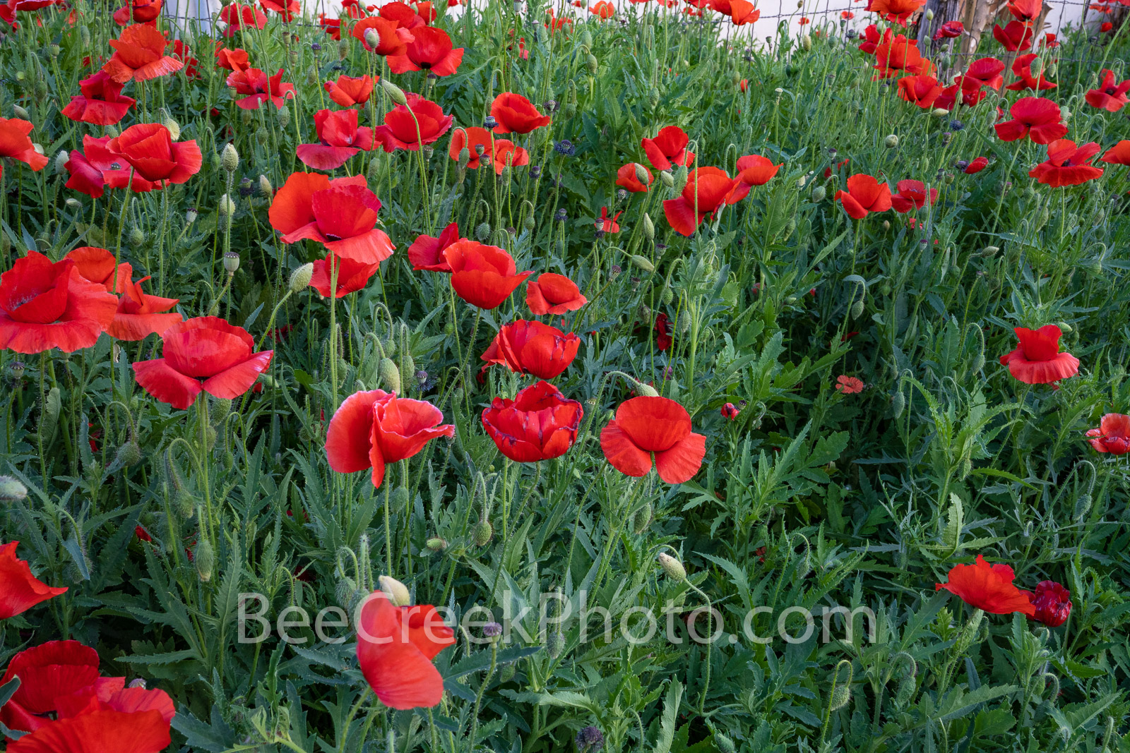 Red Poppies  - We love this house with a row of red corn poppies in front.  We captured this in front of this small stone house...