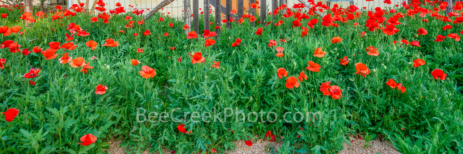 red corn poppies, poppy, red poppy, red poppies, texas, flowers, spring, springtime, poppy, poppies, corn rose, field poppy, flanders poppy, red poppy, red weed, coquelicot, papaveraceae, plant, close up,