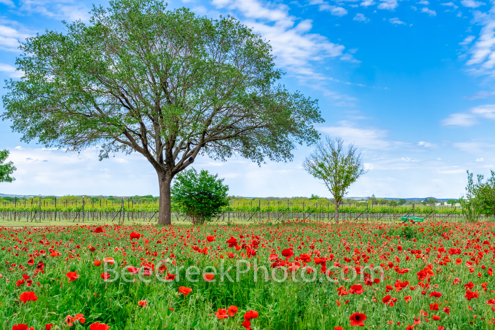 red poppies, poppy, red corn poppies, red poppy, wildflowers, texas wildflowers, tree, blue sky, red, green, spring, springtime, plants, flower, flowers, field of wildflowers, field of poppies, vineyard, vineyards, texas wildflowers, texas hill country, wildseed farm, fredrickburg, wildflower landscapes,