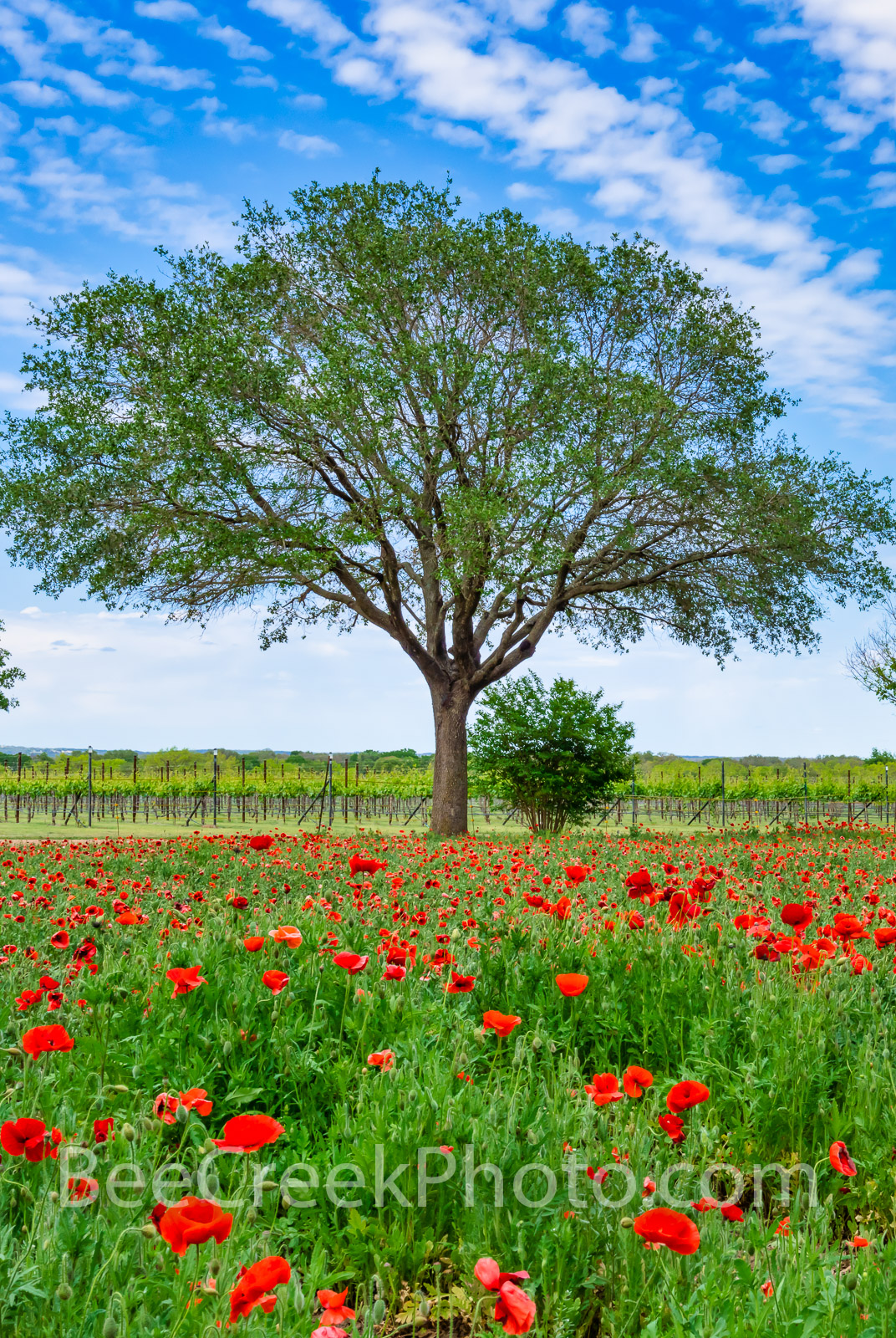 Red Poppy Landscape Vertical - A lovely tree and a field of red poppies  an a couple of white poppies with a blue sky and nice...