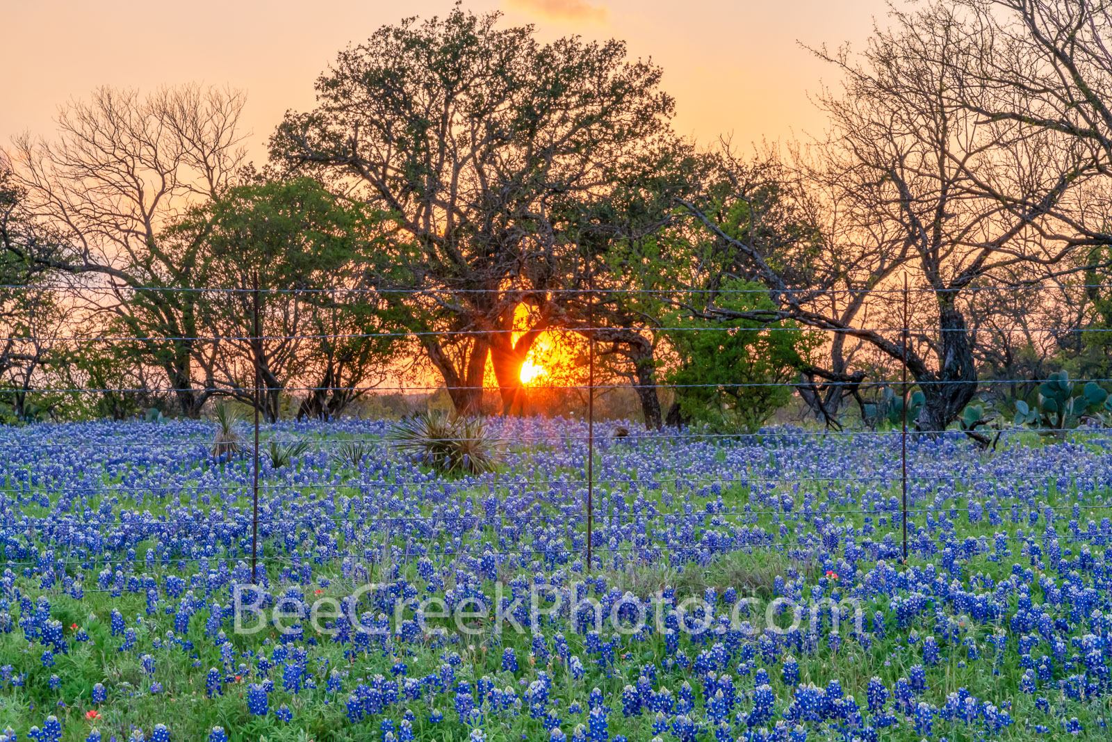 Rural Texas Bluebonnet Sunset - Bluebonnet sunset through the trees in the Texas hill country. North of Llano Texas we capture...