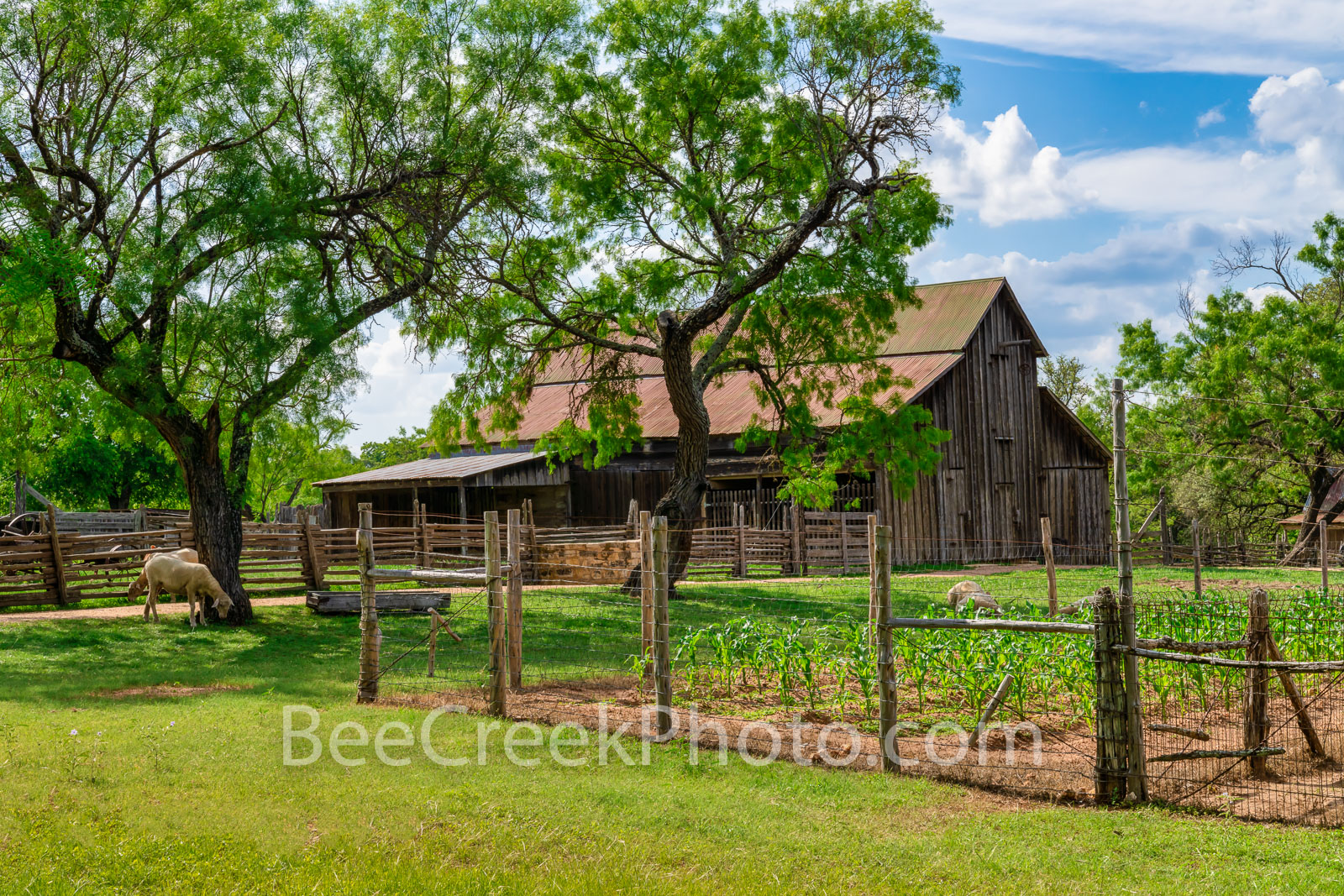 Rural Texas Hill Country Farm - A rural Texas farm with this vintage barn, crops, and loose live stock enjoying the green grass...