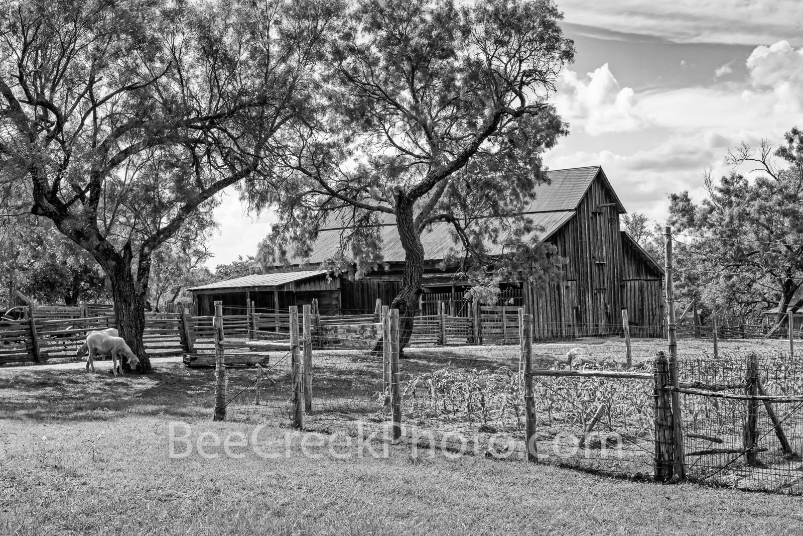 Rural Texas Hill Country Farm BW - A rural Texas farm with this vintage barn, crops, and live stock loose. This is a working...