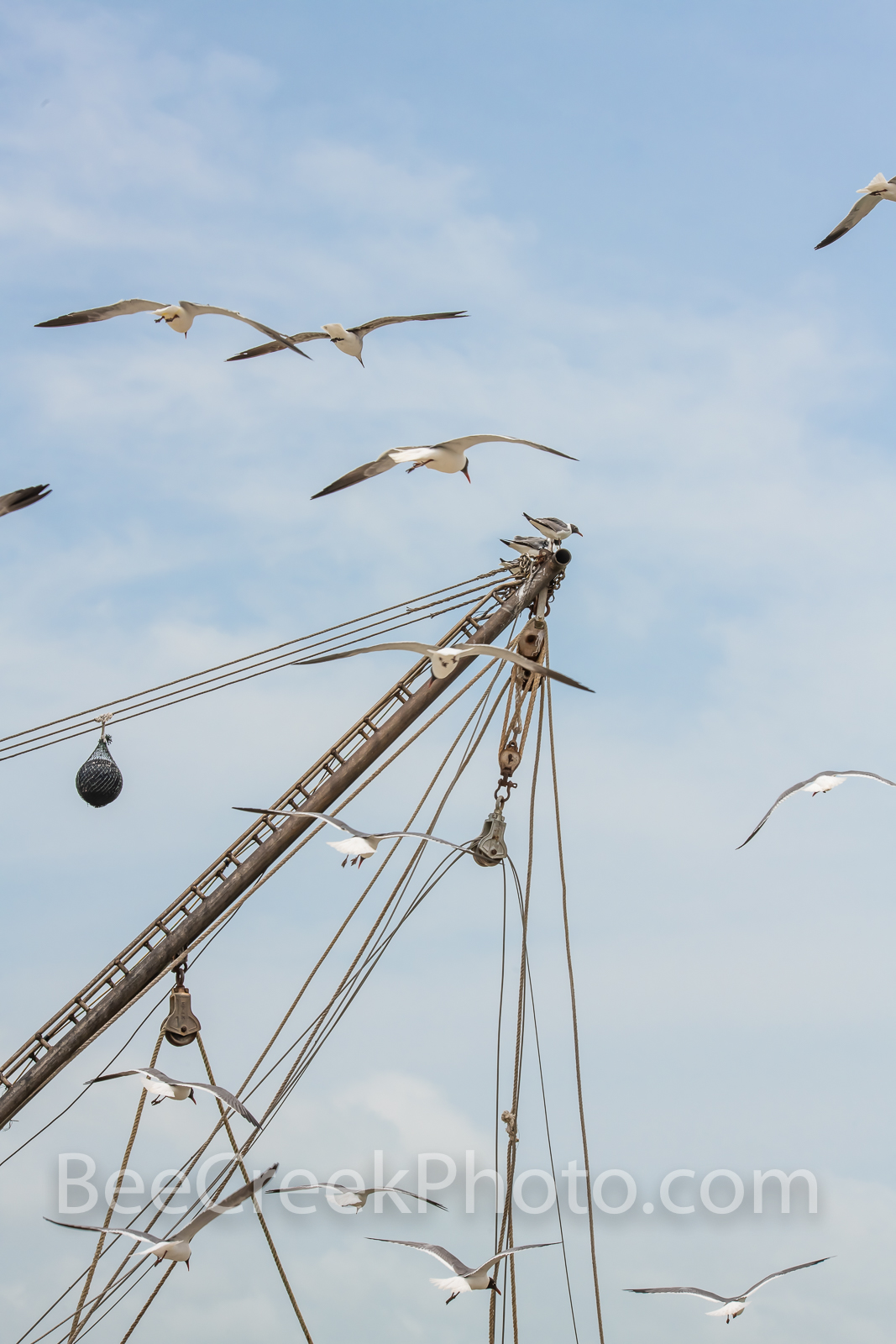 Sea Gulls Fiesta - Sea Gulls Hoover Over Shrimp Boat mast waiting on the days catch to be unloaded. The seagulls have gather...