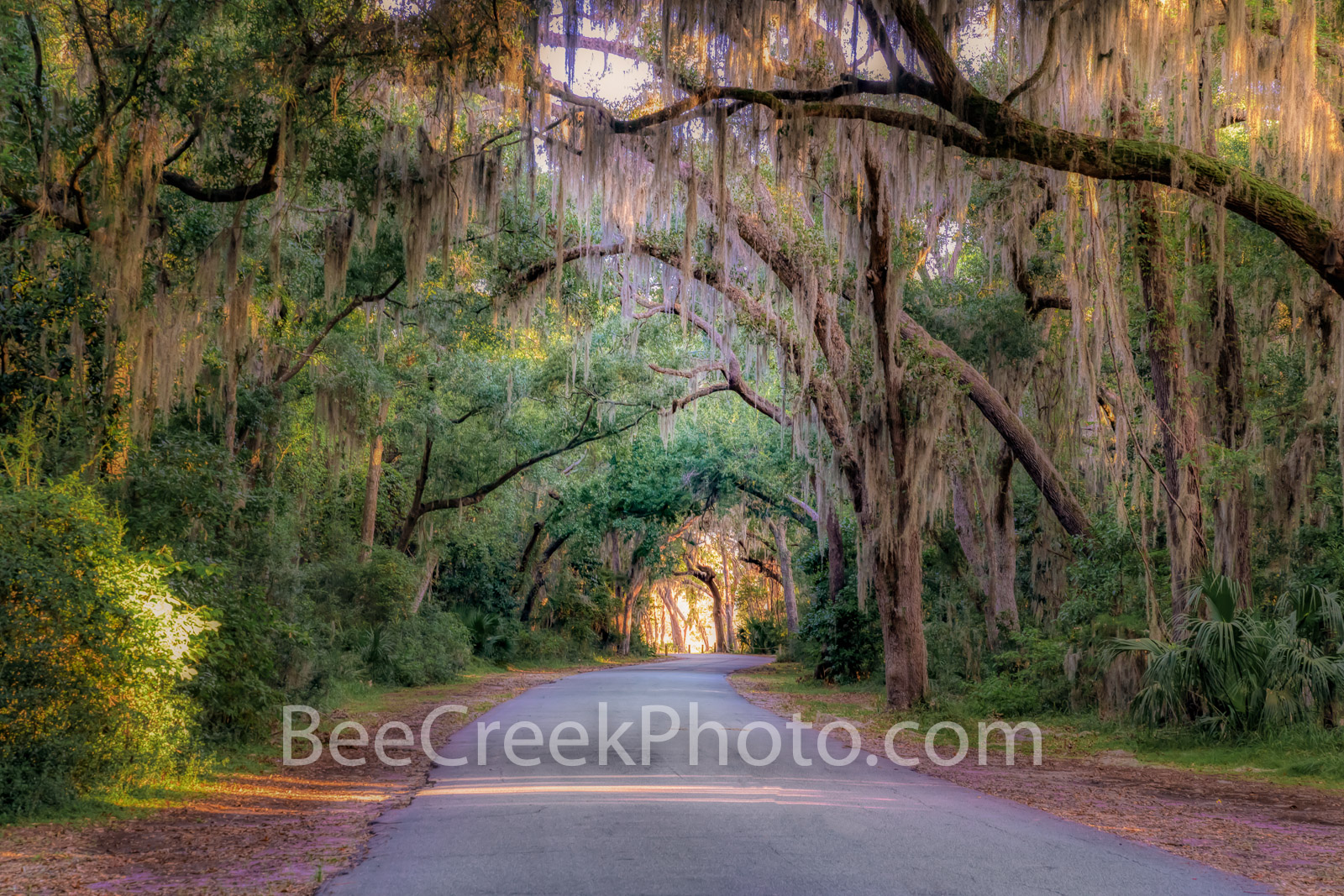 Spanish Moss Tree Tunnel Georgia - These southern usa tree tunnel with these southern oak trees with spanish moss dripping from...