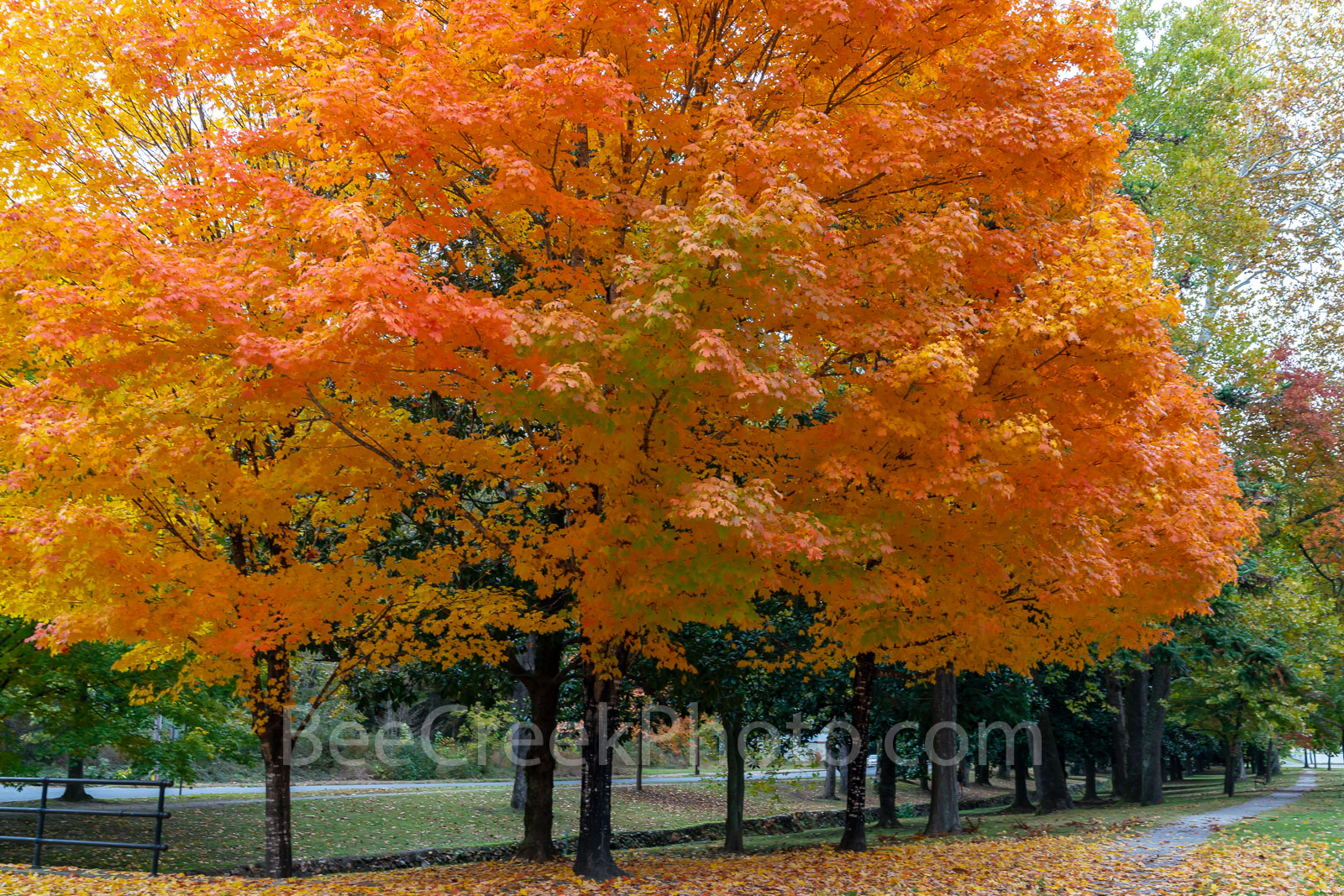 fall, autumn, sugar maple, tree, foliage, leaves, arkansas, colorful, stunning, orange, , photo