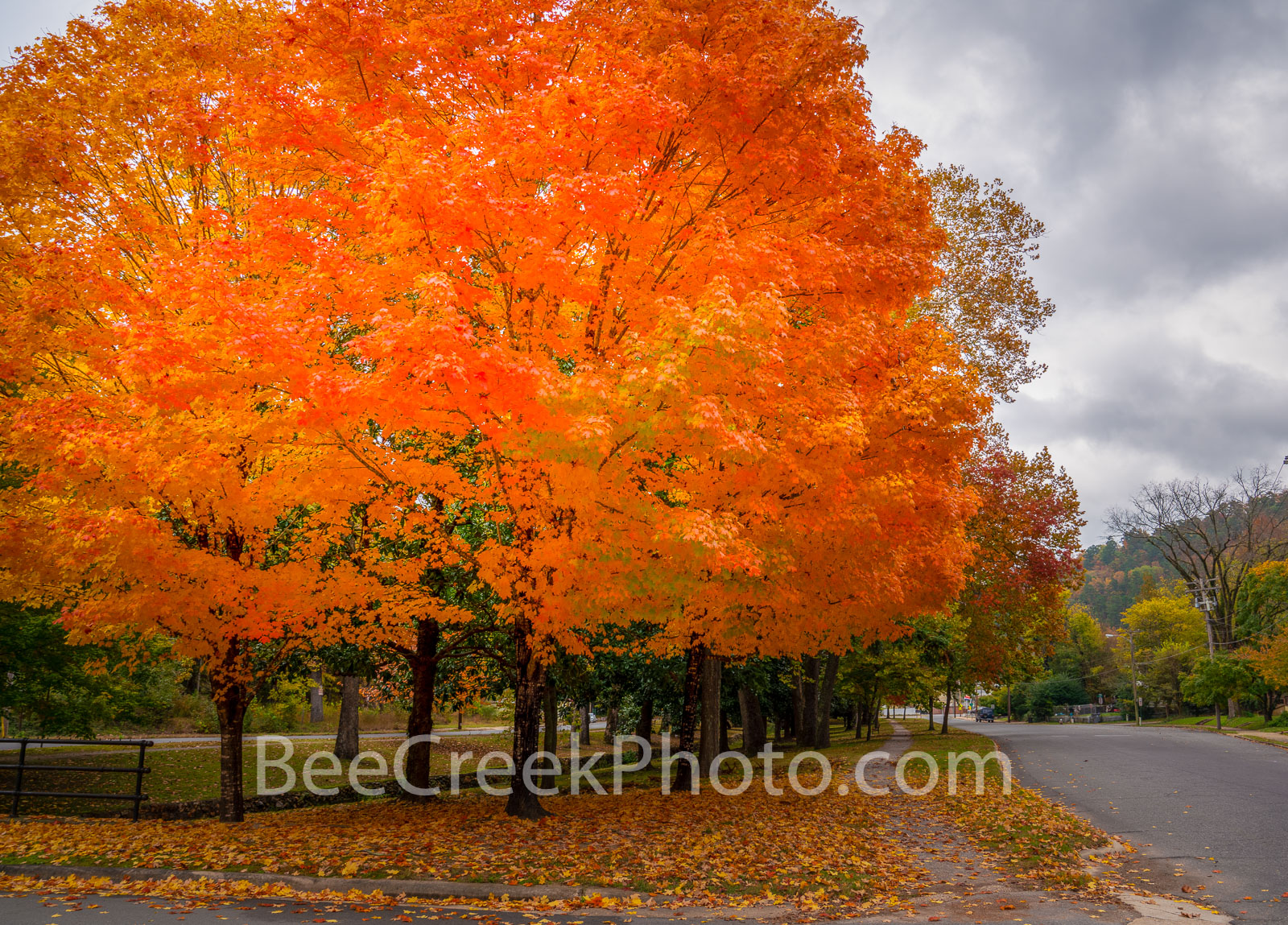 Sugar Maples in Fall  - What a site to see two full size sugar maples trees with their fall colors on display.  It was stunning...