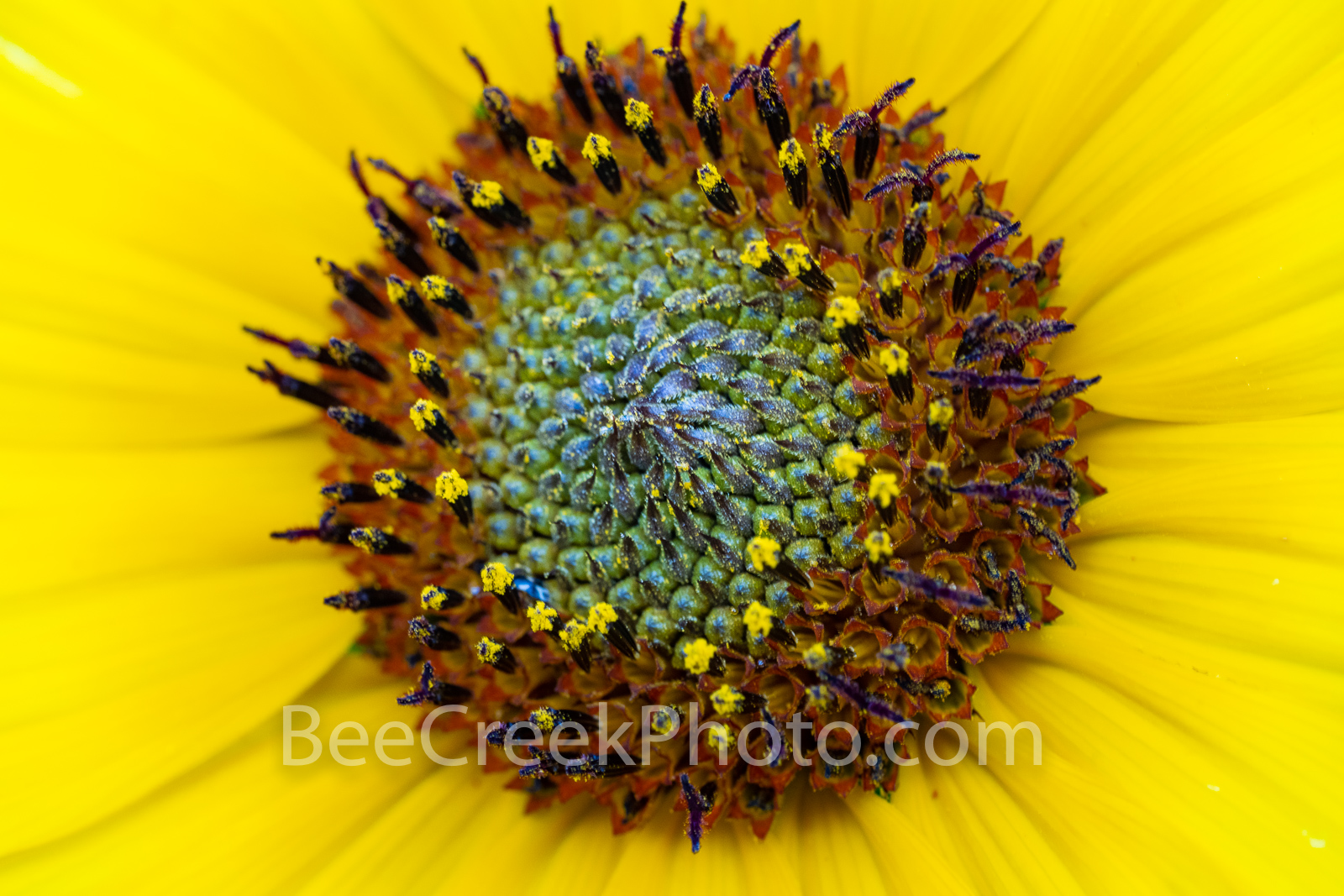 Sunflower Macro - We captured this sunflower in a close up where the details of the plant can be seen clearly.  We love sunflower...