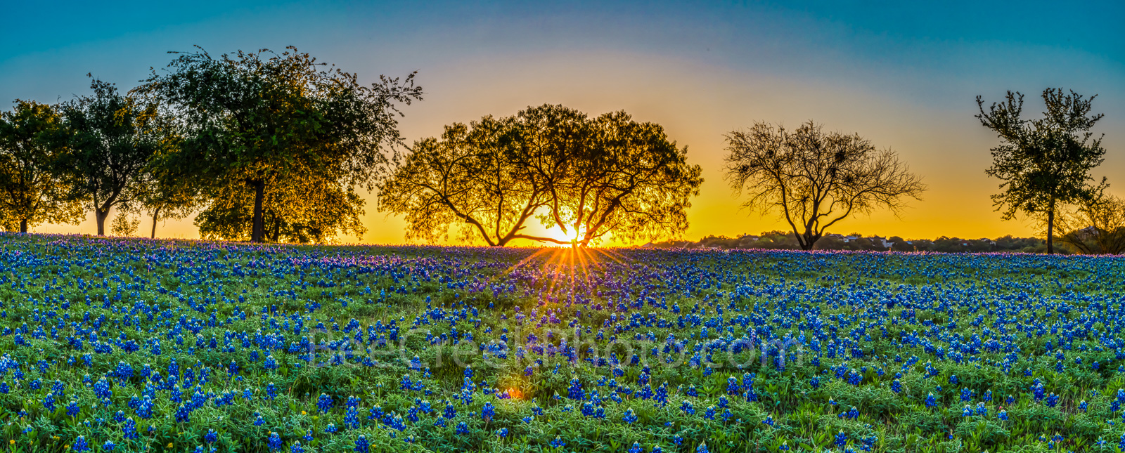 Bluebonnets, sunrise, field of bluebonnets, bluebonnets, wildflowers, pano, panorama, mesquite tree, Texas bluebonnet, landscape, bluebonnet landscape, Texas hill country, Lady Bird johnson, Highway b, photo