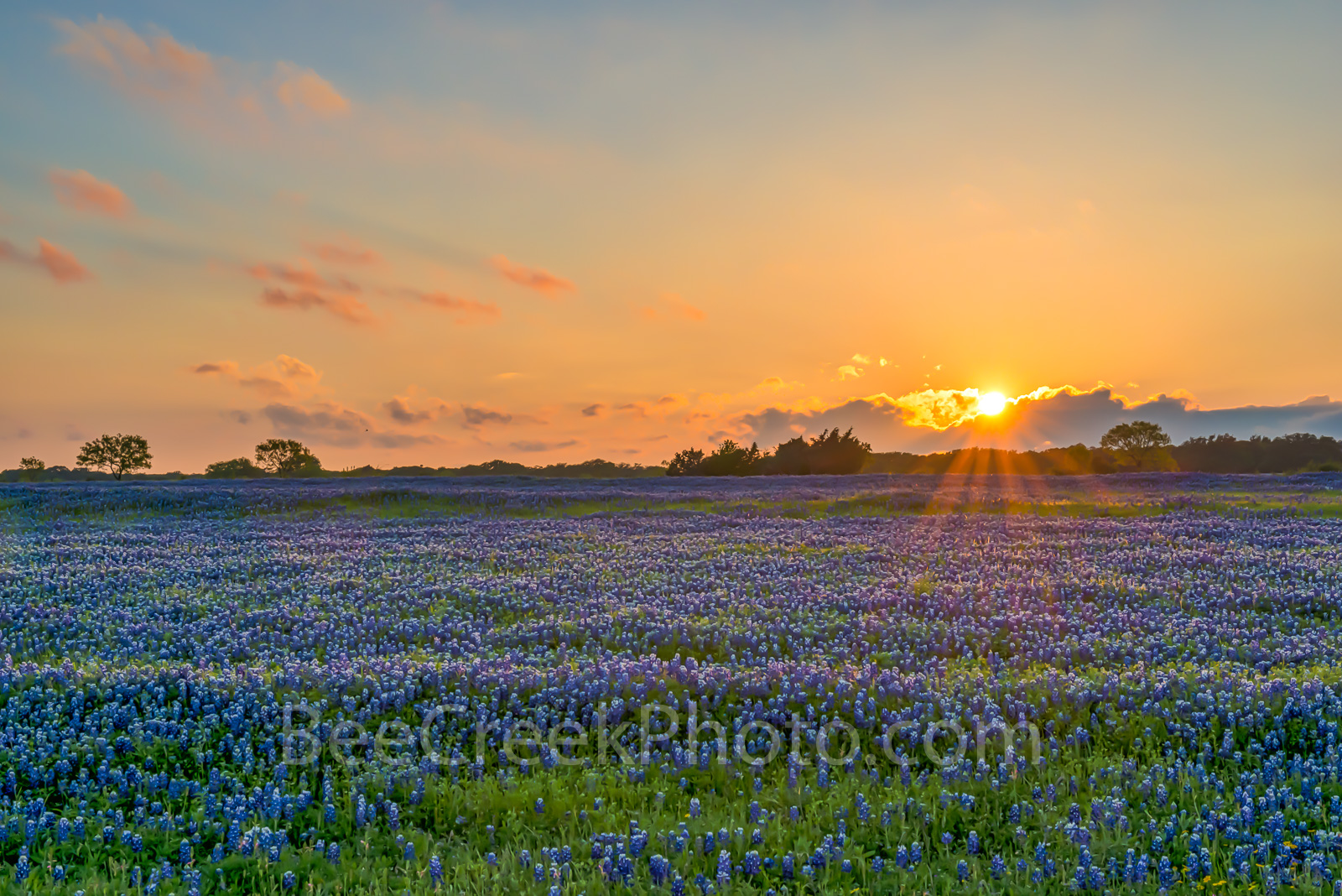 bluebonnets, bluebonnet, sunset, sunsets, field, field of bluebonnets, blue bonnets, fiery sky, colorful, red, yellows, orange, purple, landscape, landscapes, Texas Hill Country, spring, spring flower, photo