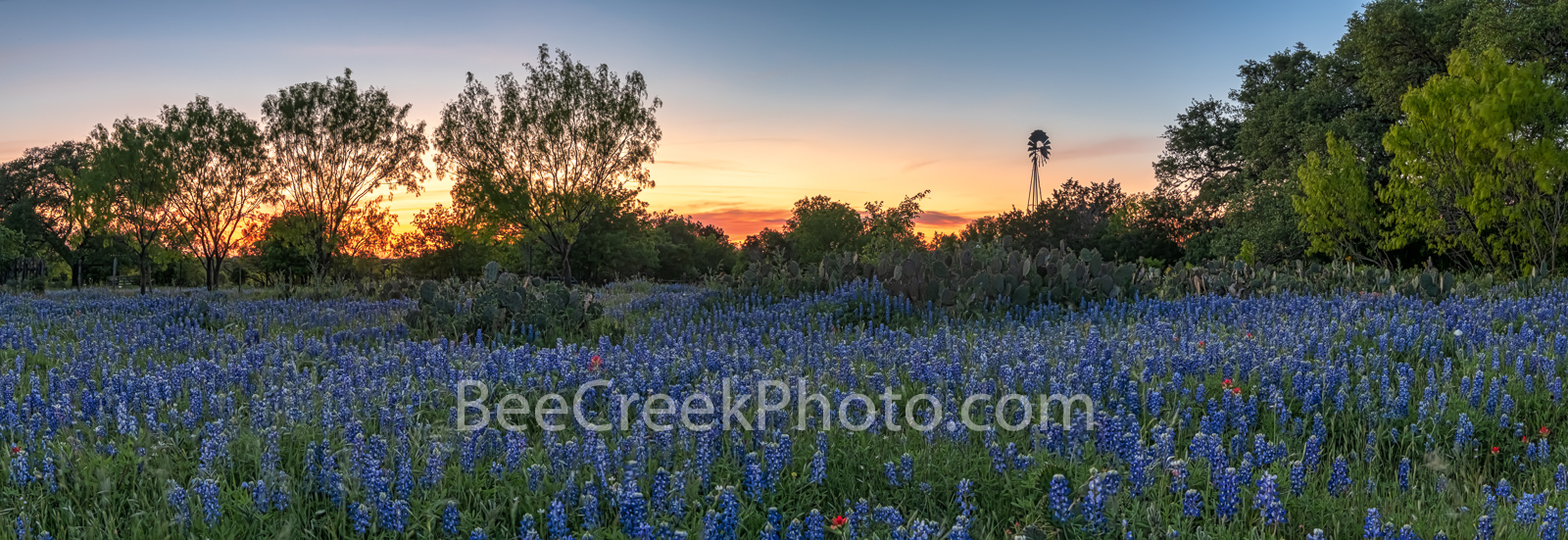 Texas Bluebonnet Sunset Landscape Pano - Texas bluebonnets in the hill country with cactus, a windmill, and a sunset panorama...