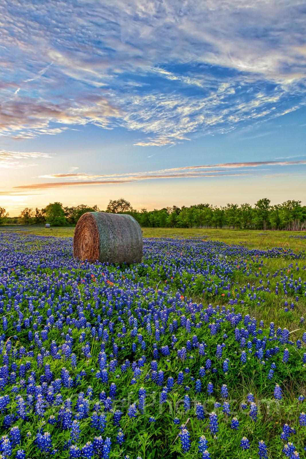 Texas bluebonnets, hay bales, vertical, farm, sun, setting, sky, indian paintbrush, bluebonnet, wildflowers., photo