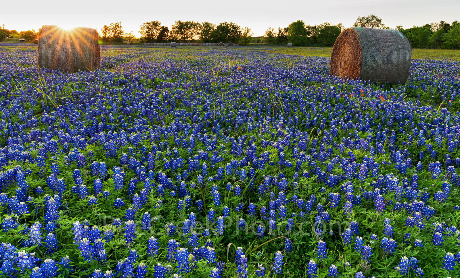 Texas bluebonnets, sunset, trees, rays, hay bales, indian paintbrush, rural texas, field of haybales, wildflowers, farm,, photo