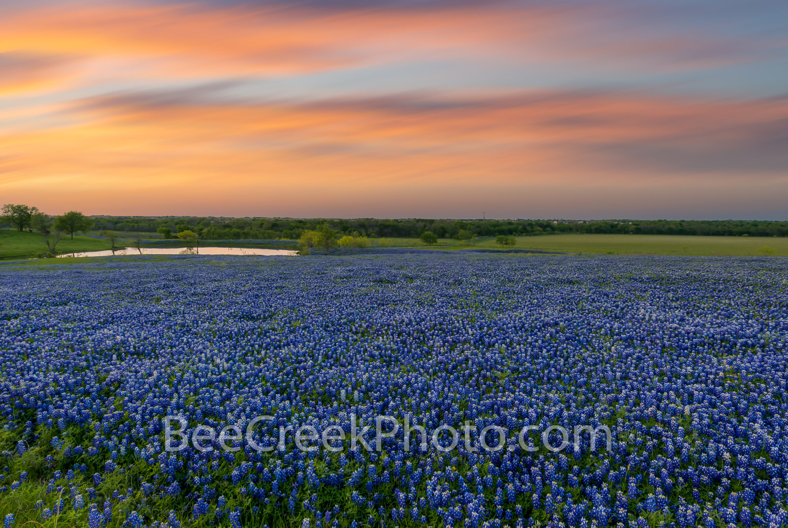 Texas Bluebonnets at Dusk  - Wildflower Landscape  - A field of Texas wildflowers as the sunset backlighted these clouds with...