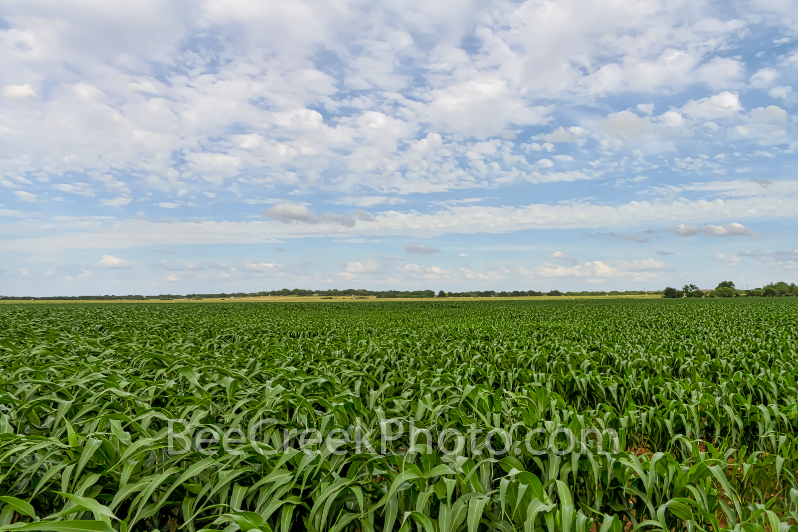 Texas Farmland Landscape - Texas farmland with a crop of corn growing in the Texas hill country.  Texas has a lot of different...