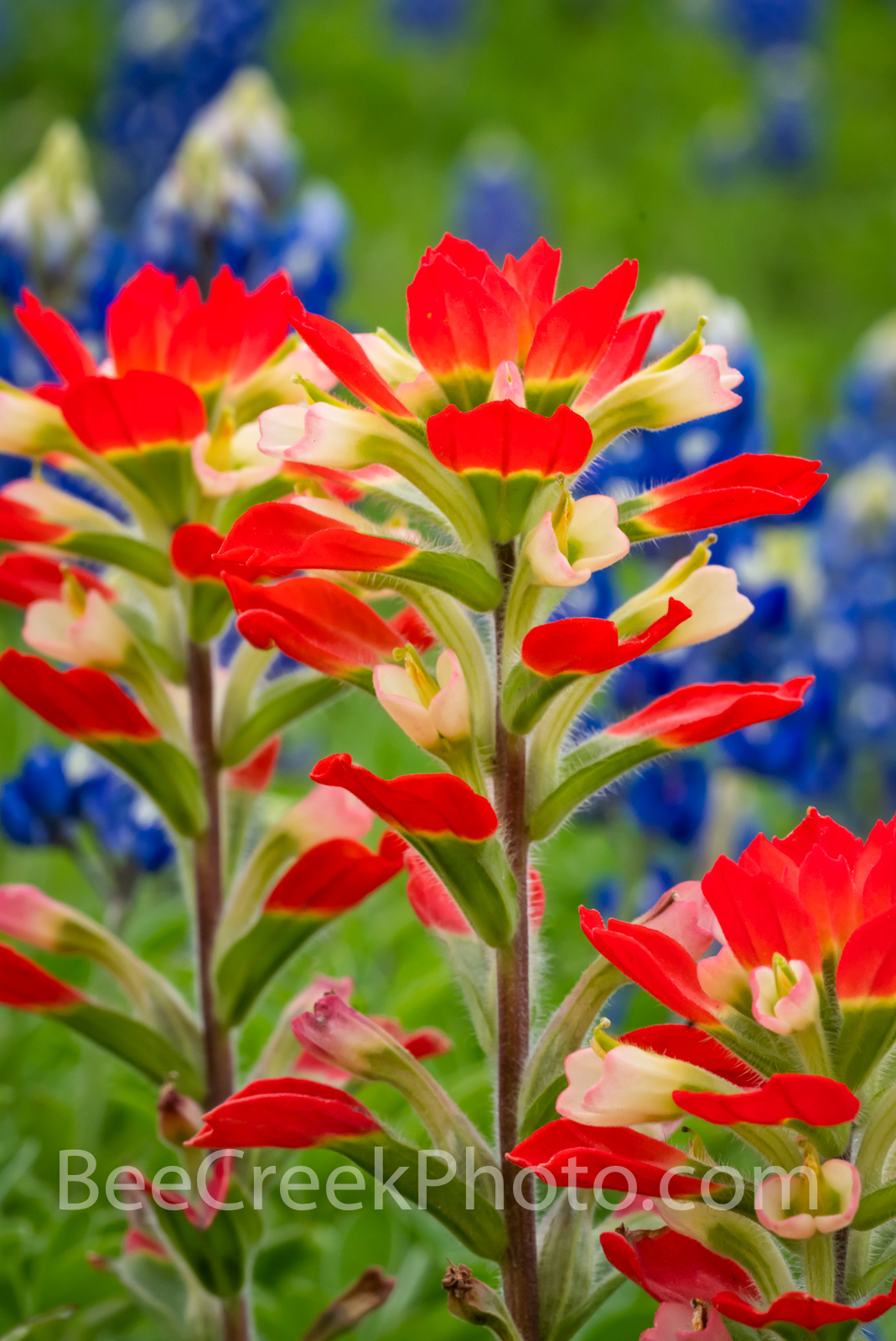 Texas Hill Country Indian Paintbrush Vertical - The indian paintbrush grow very well in the Texas hill country and most years...