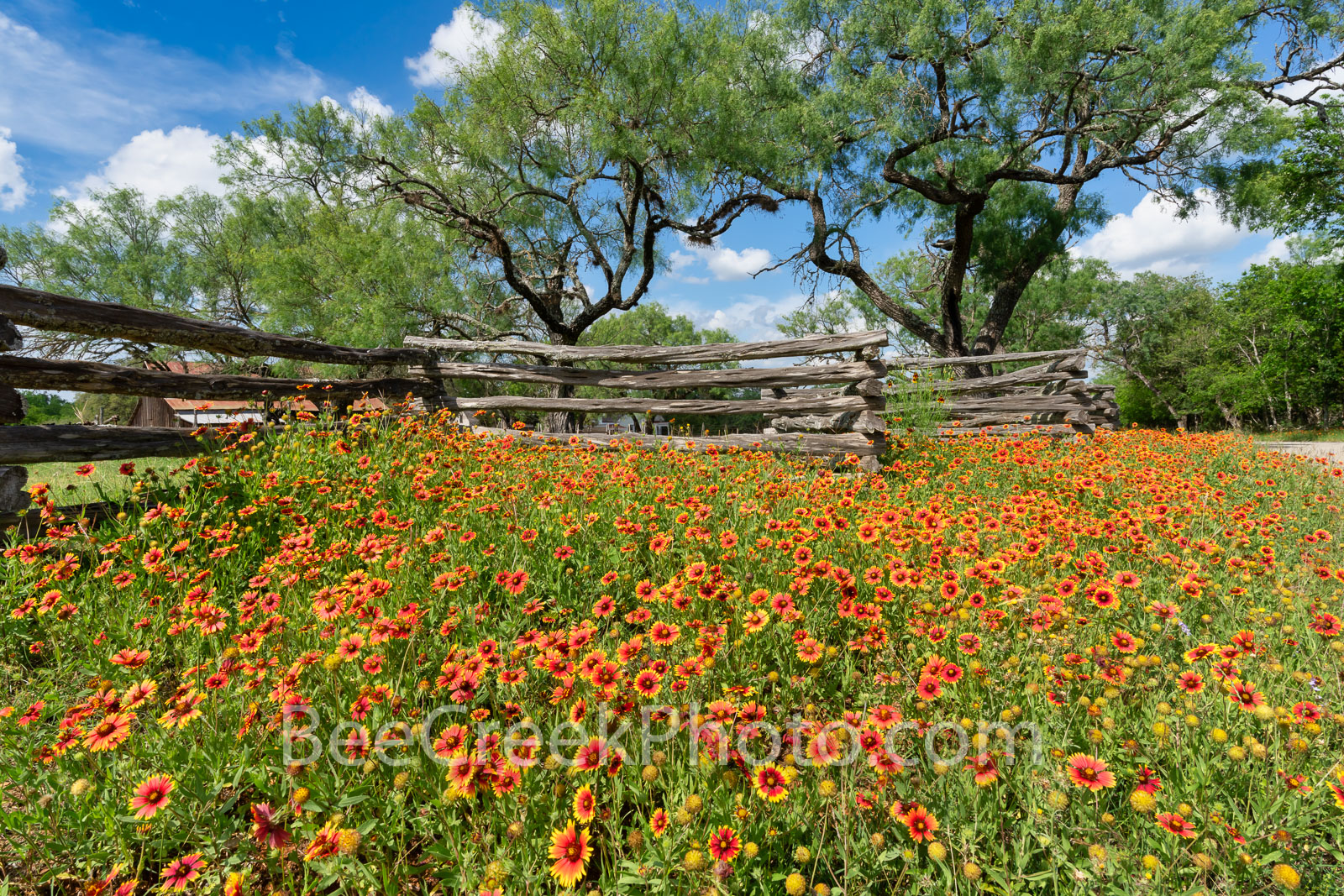Texas Hill County Indian Blankets - We came across these wonderful bunch of indian blankets, also called firewheels wildflowers...