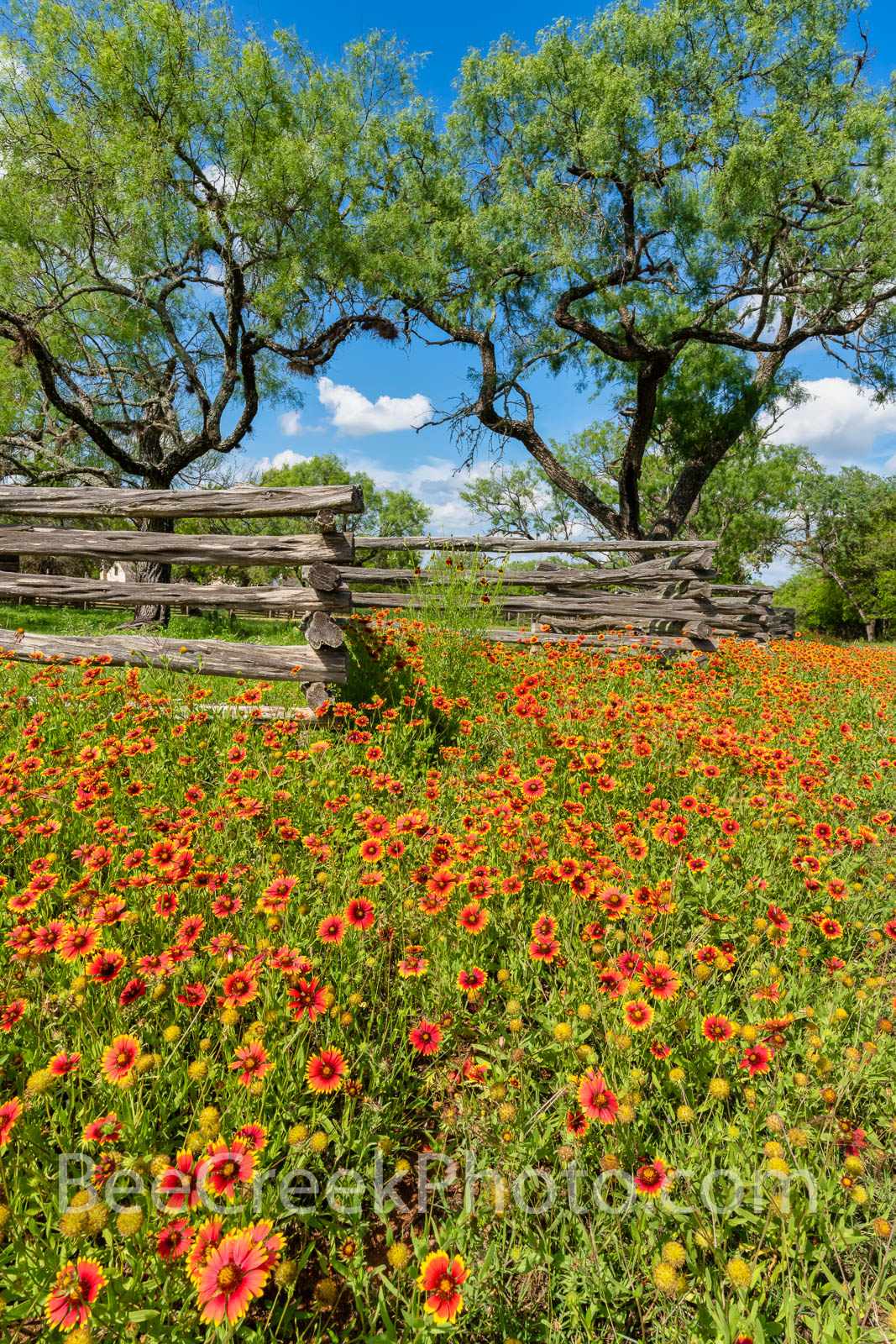 Texas Indian Blankets Along the Fence Vertical - We came across these wonderful firewheel wildflowers, also called indian blankets...