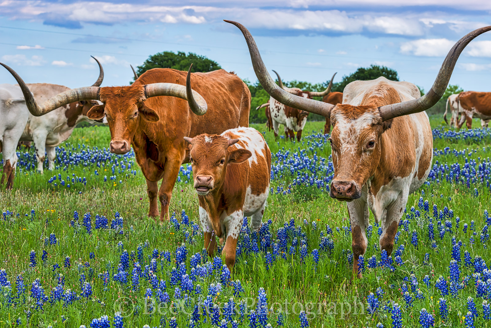 Texas Longhorns, bluebonnets, herd, bluebonnet, blue bonnets, landscape, landscape, calf, cattle, wildflowers, wildflower, horns, longhorn, Texas cattle, Hill Country, images of texas,